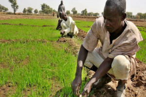 HARVEST: Binji Farmers Begs Police for Protection